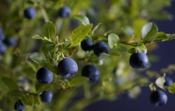 Картинка листья, ветки, ягоды, куст, черника, leaves, berries, branches, blueberries, Bush
