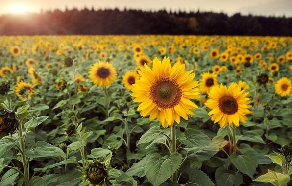 Картинка поле, листья, цветы, фон, обои, подсолнух, wallpaper, цветочки, широкоформатные, flowers, background, полноэкранные, HD wallpapers, широкоэкранные