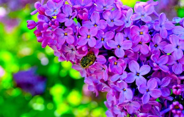 Картинка цветы, жук, сирень, яркие обои