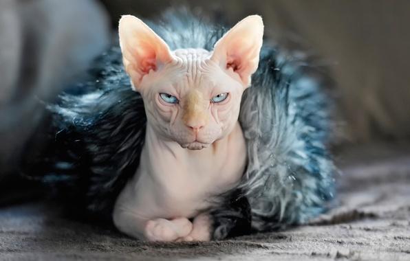 Картинка кошка, мех, уши