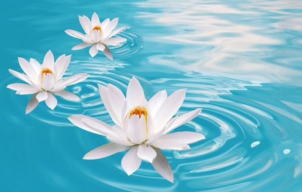 ЧИСТОЕ ОСОЗНАНИЕ. Lotosy-lilii-voda