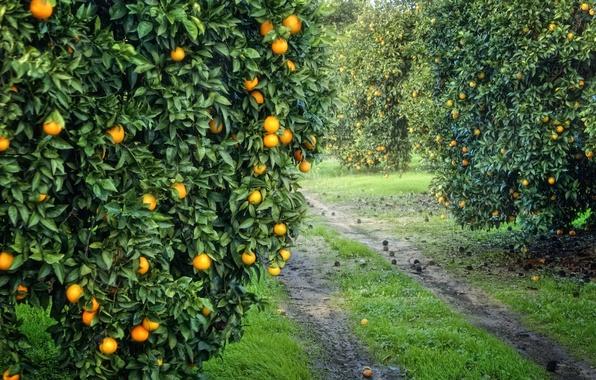 Картинка сад, урожай, плоды, оранжевые, роща, апельсиновая