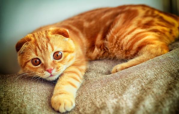 Картинка кот, взгляд, лапа, портрет, рыжий, играет, скоттиш фолд