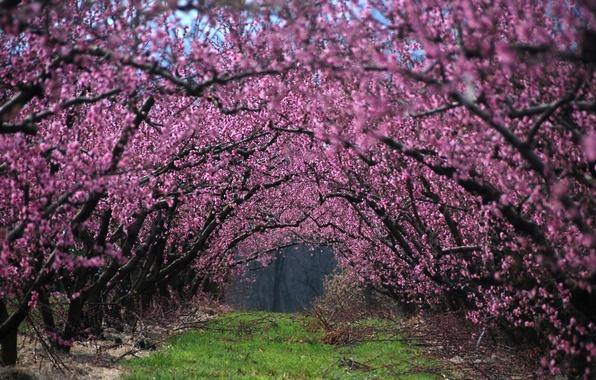 Картинка трава, деревья, цветы, ветки, природа, ветви, Весна, аллея, цветение