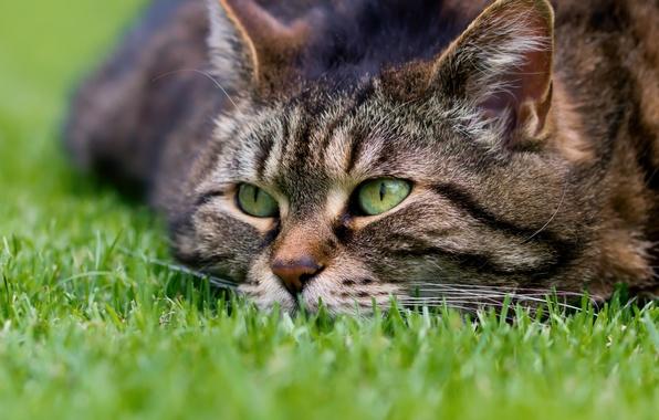 Картинка кошка, трава, кот, взгляд, мордочка, котэ