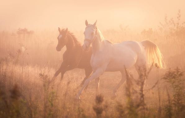 Картинка туман, кони, лошади