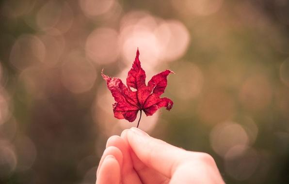 Картинка осень, лист, рука, кленовый лист, боке