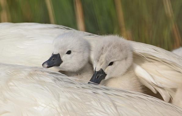 Картинка перья, укрытие, крыло, лебеди, птенцы