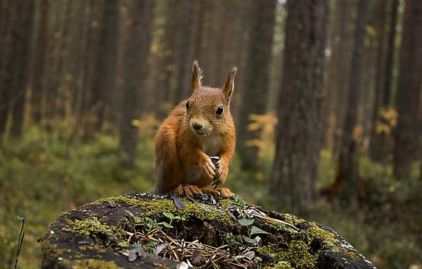Картинка осень, лес, животные, природа, пень, белка, белочка
