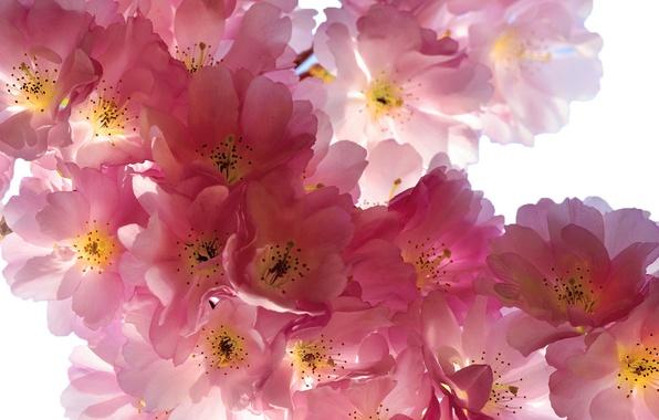 Картинка цветы, ветки, вишня, красота, весна, лепестки, сакура, нежные, розовые, бутоны, цветение, pink, flowers, Spring, beauty, …