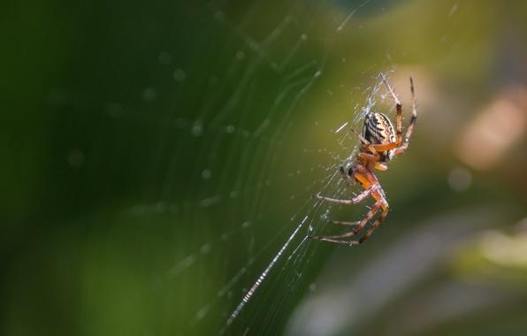 Картинка макро, паутина, паук, насекомое