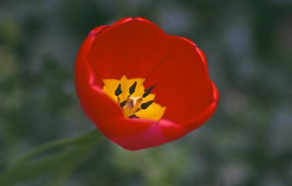 Картинка макро, желтый, красный, один, тюльпан, фокус, лепестки, red, yellow, one, petals, Tulip