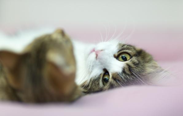Картинка кошка, взгляд, кошки, бело-серая