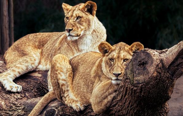 Картинка кошки, природа, дерево, отдых, лев, пара, бревно, дикие кошки, львы, зоопарк, лежат, львицы, прайд