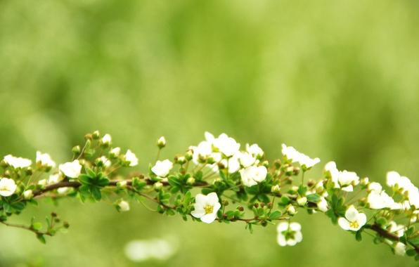 Картинка зелень, ветки, зеленый, дерево, ветви, обои, фокус, ветка, цветочки, ветвь, цветение, широкоформатные обои, цветки, обои …