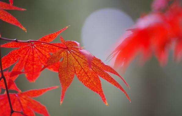 Картинка осень, листья, природа, клен, блик