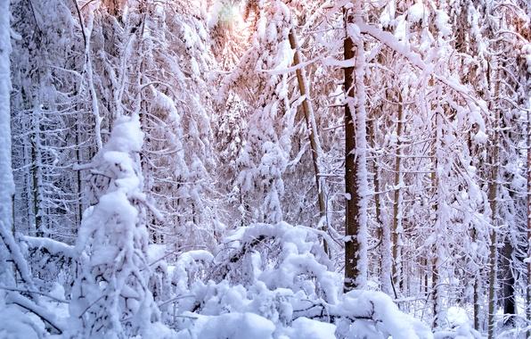 Картинка зима, лес, солнце, свет, снег, деревья, елки, ели, сосны, winter, snow, tree, sun, pine