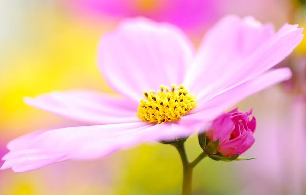 Картинка цветок, макро, сиреневый, розовый, пыльца, лепестки, размытость, космея