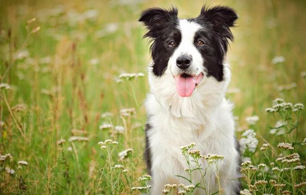 Обои Бордерколли Собаки Прыжок Мяч Трава Животные