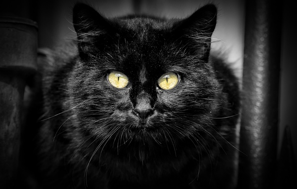 Картинка кошка, кот, взгляд, черный, портрет
