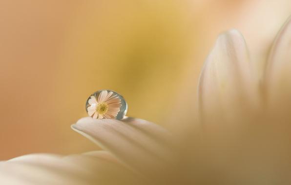 Картинка цветок, вода, отражение, капля, лепестки