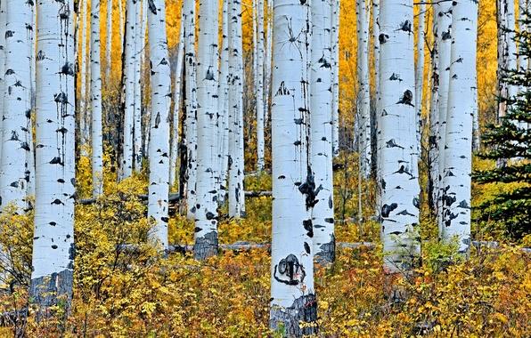 Картинка осень, лес, деревья, ствол, береза, роща, осина