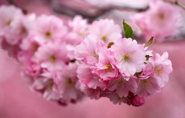 Картинка вишня, Цветы, ветка, Сакура
