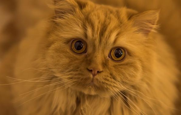 Картинка кот, усы, взгляд, рыжий, мордочка, глазища, рыжий кот