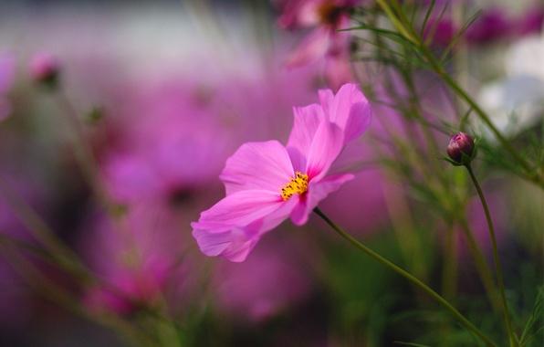 Картинка цветок, макро, цветы, яркий, розовый, размытость, бутоны, Космея