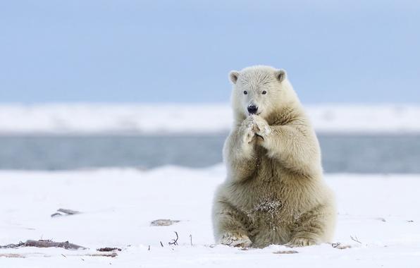 Картинка медведь, Аляска, Alaska, белый медведь, полярный медведь