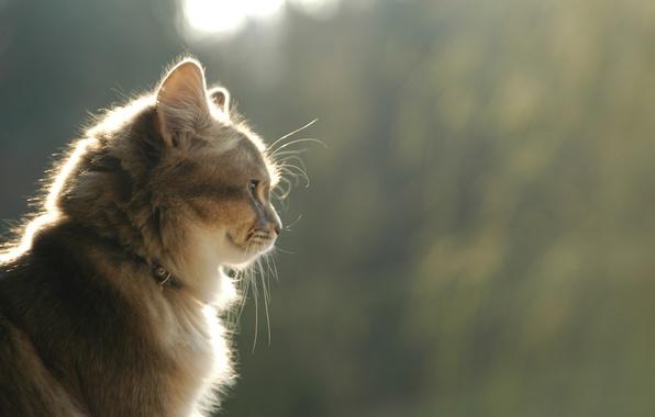 Картинка кошка, кот, взгляд, улыбка, профиль, коричневый