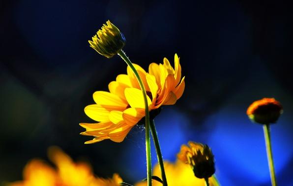 Картинка цветы, синий, фон, желтые, бутоны