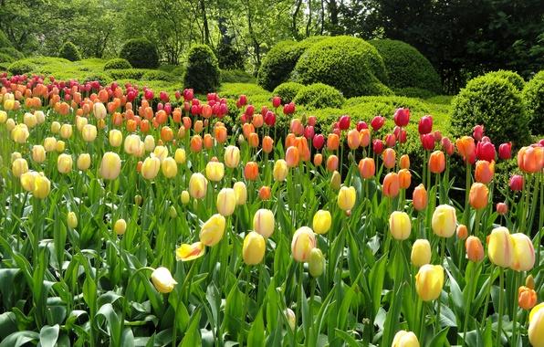 Картинка зелень, деревья, цветы, парк, сад, тюльпаны, разноцветные, клумбы