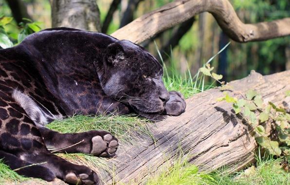 Картинка морда, отдых, хищник, лапы, пантера, пятна, лежит, профиль, дикая кошка, зоопарк, чёрный ягуар