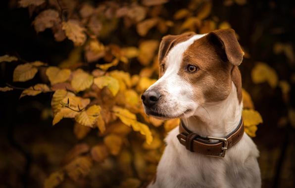 Фото обои осень, ветки, ошейник, листья, морда, взгляд, портрет, собака