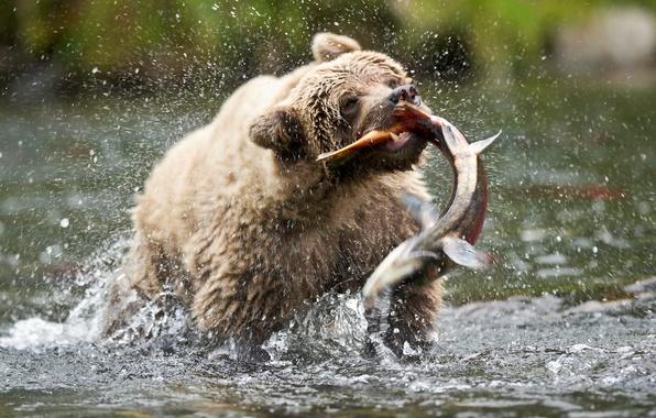 Картинка капли, брызги, рыба, медведь, мишка, бурый медведь, сша, аляска, лосось, улов, MommaD photos, русская река