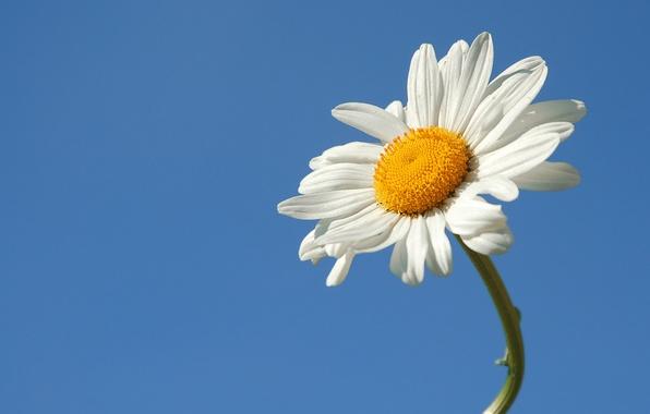 Картинка цветок, лето, небо, ромашка