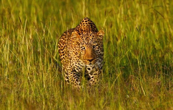 Картинка трава, морда, свет, хищник, леопард, Африка, маскировка, дикая кошка