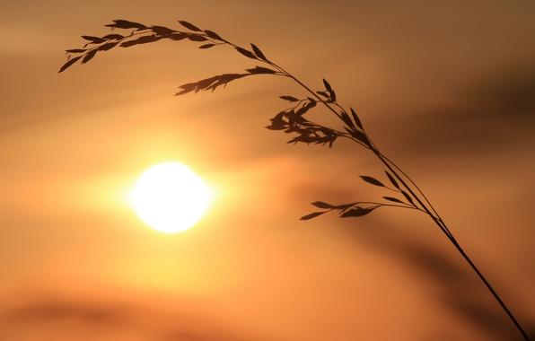 Картинка солнце, колоски, силуэт, травинка, тростинка