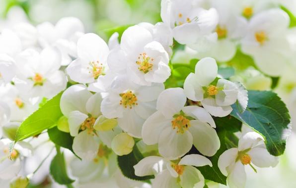 Картинка листья, цветы, вишня, дерево, ветка, весна, лепестки, белые, цветение
