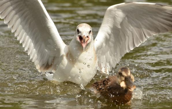 Картинка птицы, погоня, чайка, утка