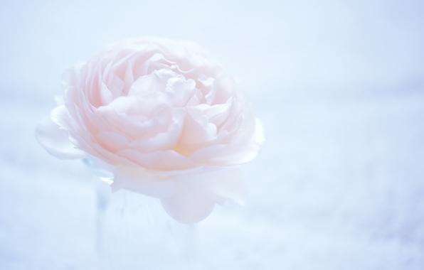 Картинка цветок, макро, фон, розовый, светлый, камелия