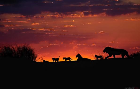 Картинка небо, закат, вечер, Африка, львы, львята, силуэты, прайд, Калахари, семейная стая львов