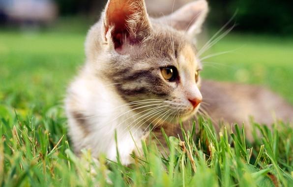 Картинка кошка, белый, трава, кот, макро, cat