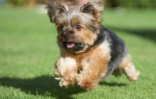 Картинка трава, собака, бег, лужайка, йорк, Йоркширский терьер