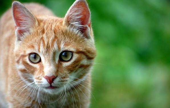 Фото обои кошка, взгляд, внимание, кошки, рыжий, глаза, кот