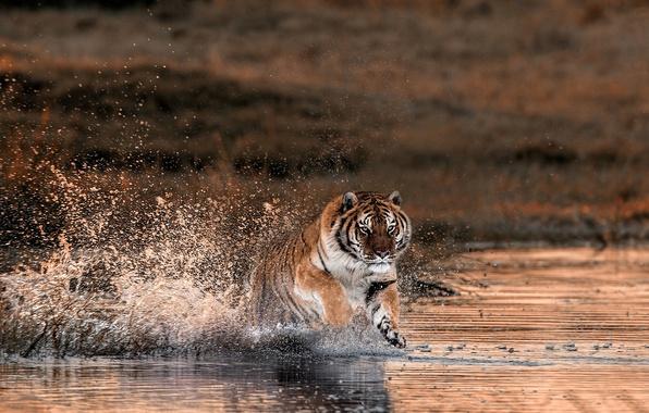 Картинка брызги, тигр, река, бег