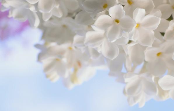 Картинка белый, макро, цветы, нежность, весна, сирень