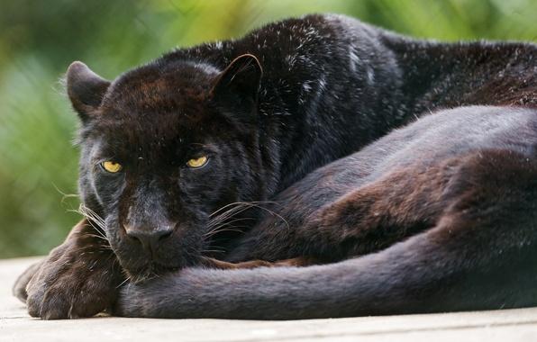 Картинка кошка, черный, пантера, леопард, ©Tambako The Jaguar