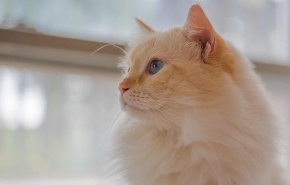 Фото обои портрет, взгляд, кошка, мордочка, пушистая